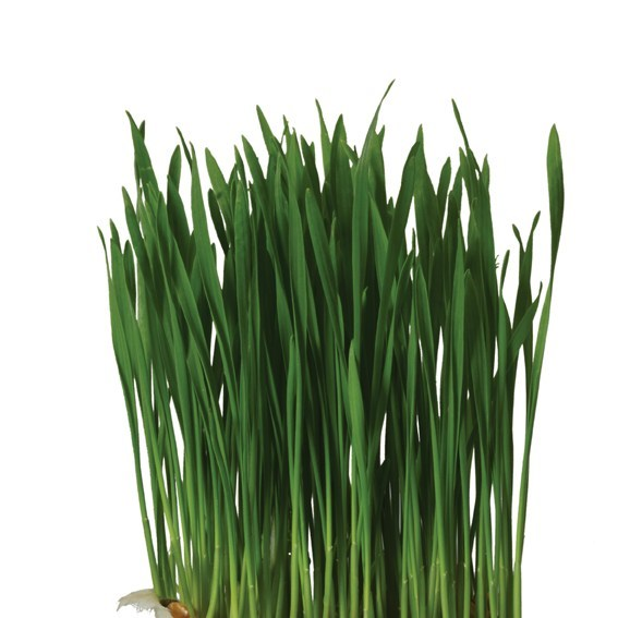 Productafbeelding Wheat Grass
