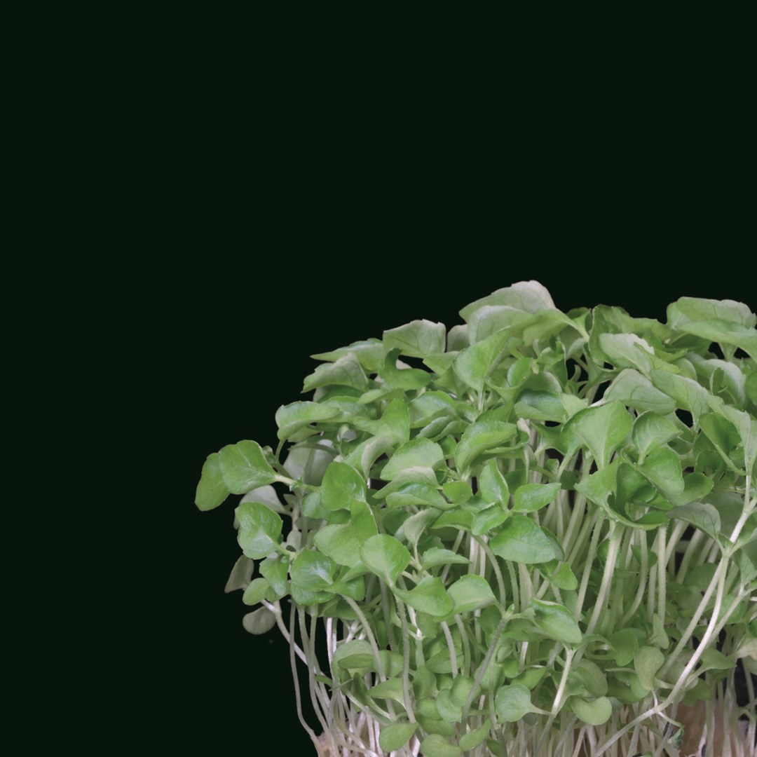 Productafbeelding Sechuan Cress® (CressSingle)