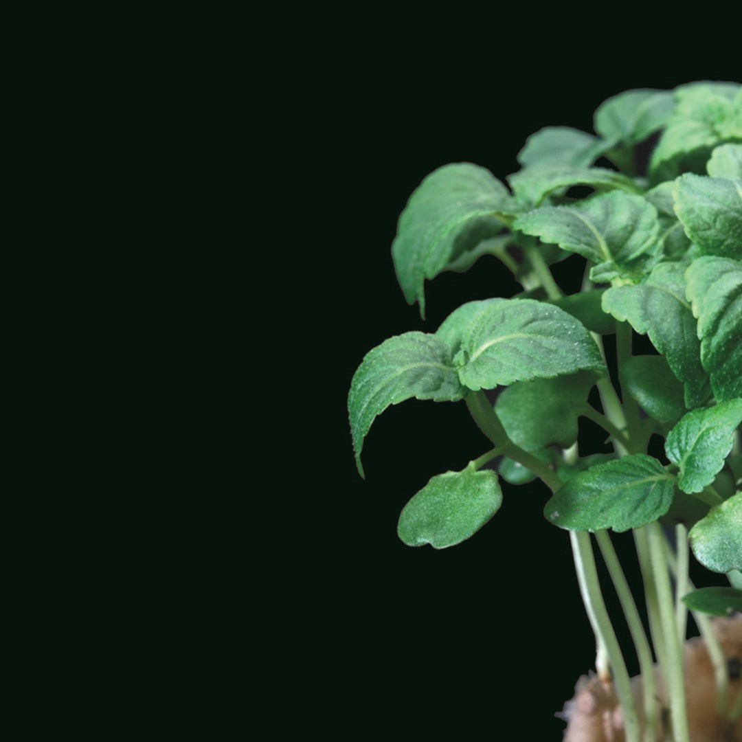 Productafbeelding Shiso® Green (CressSingle)