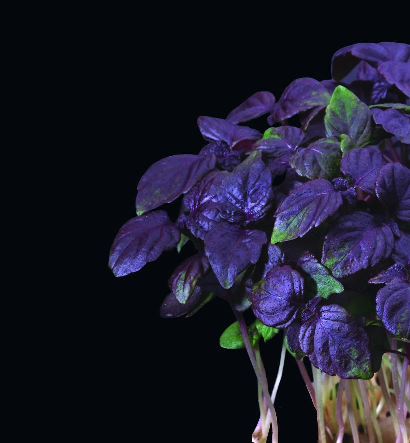 Productafbeelding Shiso® Purple Cress (CressSingle)
