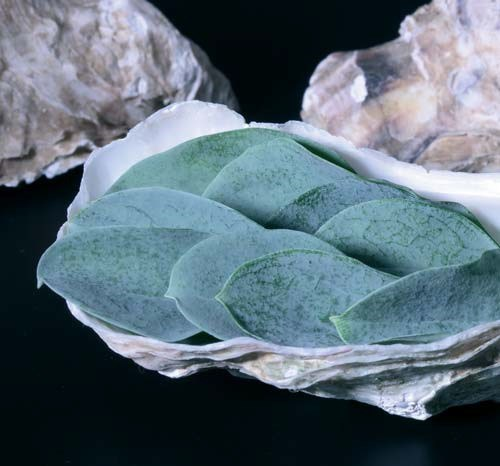 Productafbeelding Oyster Leaves