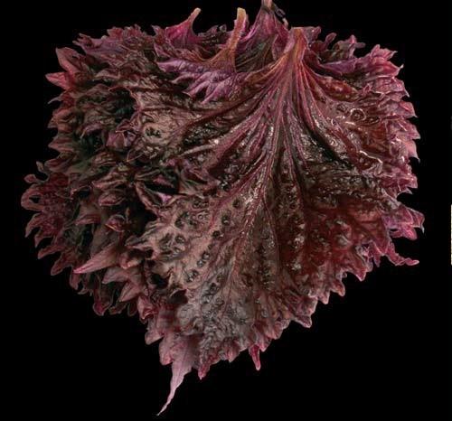 Productafbeelding Shiso® Leaves Purple