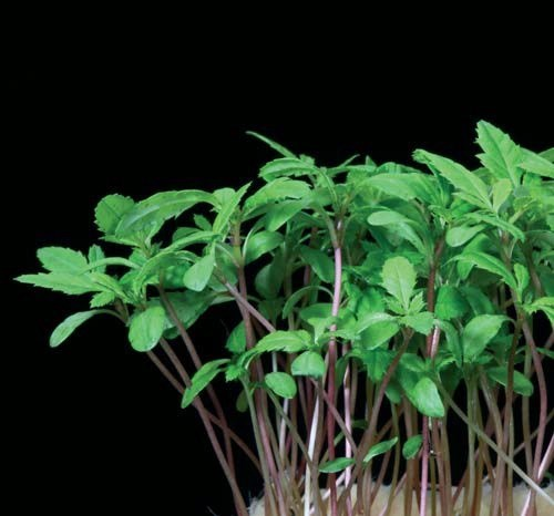 Productafbeelding Aclla Cress® (Solitair)
