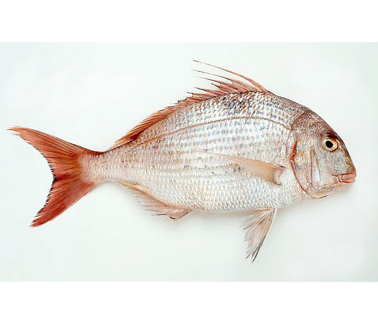 Productafbeelding SEABREAM RED 600-800GR.  GUTTED AND SCALES OFF, FROZEN