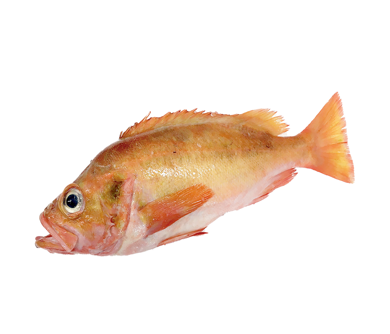 Productafbeelding REDFISH WHOLE 800-1500GR