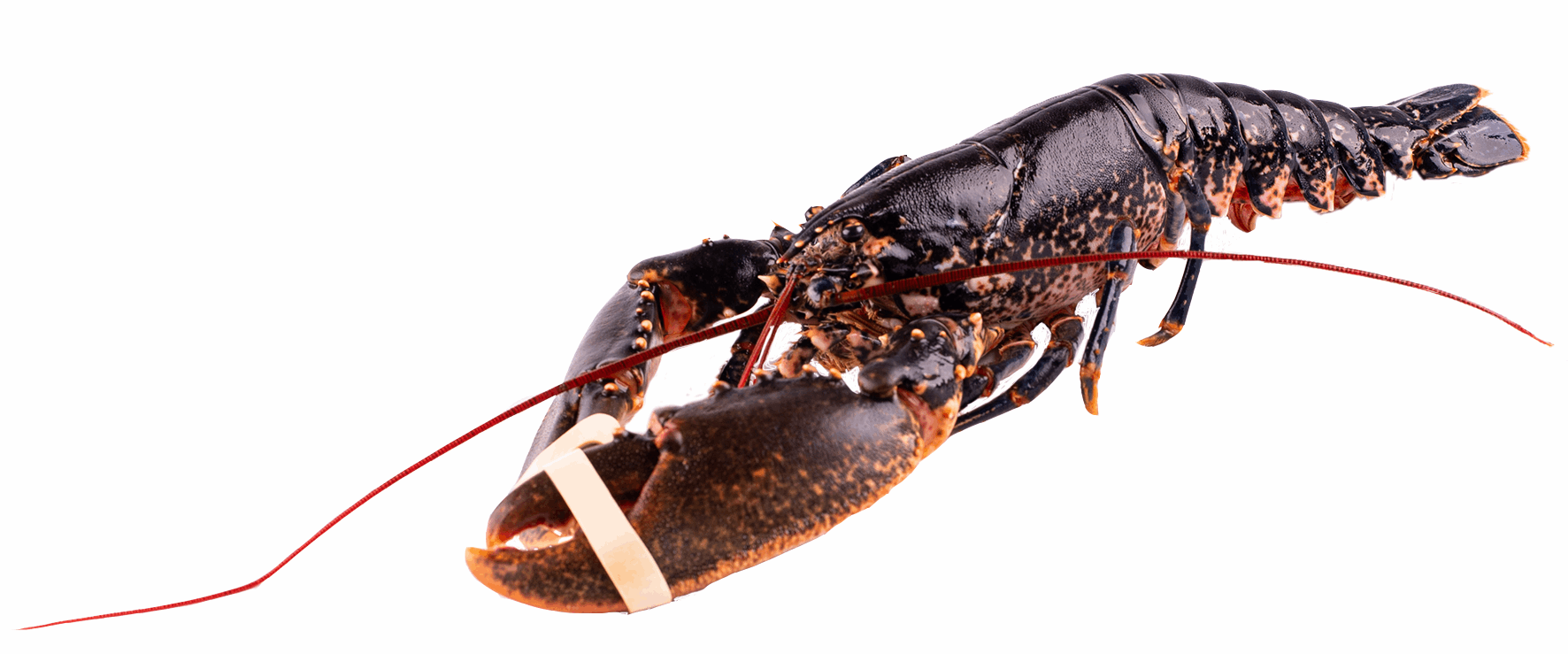 Productafbeelding LOBSTER EUROPEAN SIZE 1000-1200GR