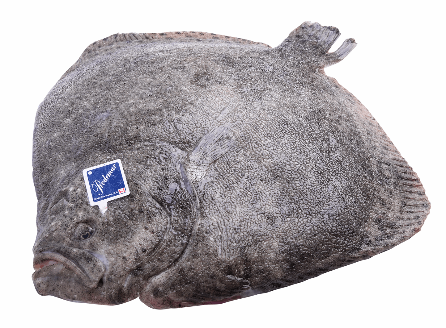 Productafbeelding TURBOT WHOLE FARMED FRESH 2-3 KG